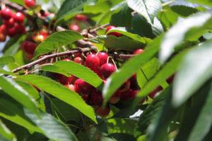 Ferienwohnung am Obsthof mit Kirschen, Äpfeln und mehr