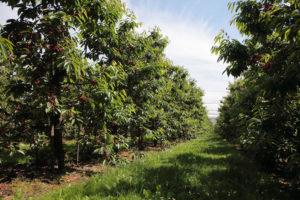 Weite Obstplantagen beim Obsthof Schliecker