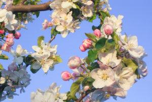 Die wundervolle Kirschblüte beim Obsthof Schliecker erleben